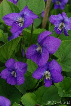 Purple Violet (New Brunswick provincial flower)