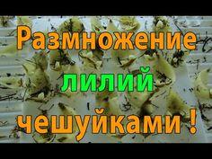 Размножение лилий чешуйками. За 20 дней народились маленькие луковки !!!... Garden, Youtube, Garten, Lawn And Garden, Gardening, Outdoor, Youtubers, Gardens, Tuin