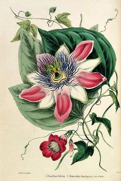 Thomas Moore and William P. Ayre  Passion Flower  1851