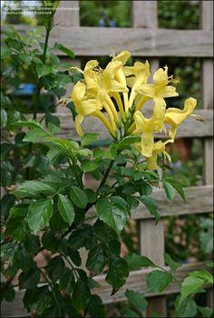 . Flax Flowers, Blooming Flowers, Yellow Flowers, Honeysuckle Cottage, Honeysuckle Vine, Cranesbill Geranium, Flannel Flower, Crocosmia, Yellow Cottage