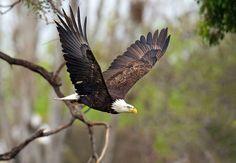 Bald eagle (f)