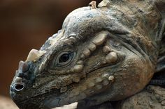 rhinoceros iguana - photo provided courtesy of Anubis333 on Flickr Creative Commons