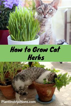 How to Grow Cat Herbs These cat herbs are the best herbs you can grow, and your cats will thank you for them! Keep reading to learn how to grow cat herbs in your garden! via Plant Instructions Cat Safe Plants, Cat Plants, Herb Plants, Cat Friendly Plants, Gato Gif, Cat Grass, Cat Garden, Garden Grass, Cat Room