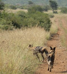 Wild dogs crossing the road back into the bush at Loisaba Wilderness, Laikipia, Kenya.  22.7.12      https://www.facebook.com/media/set/?set=a.10151341016480008.813729.10150107915730008=3