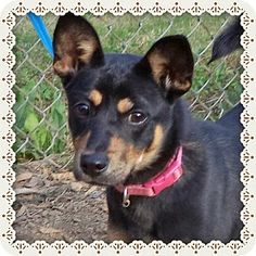Act quickly to adopt LADY GODIVA. Pets at this Shelter may be held for only a short time.Marietta, GA - Chihuahua Mix. Meet LADY GODIVA a Dog for Adoption.