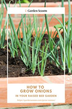 How To Grow Onions In Your Raised Bed Garden | Why grow onions, you ask? Well, first of all, it is the most straightforward gardening project you can ever take on. And second, nothing beats crisp freshly picked organic onions. While you can grow onions on the open ground, growing them on raised beds is more advantageous. Here is everything you need to know about growing onions on a raised bed. Easy Garden, Edible Garden, Raised Garden Beds, Raised Beds, Growing Onions, Easy Vegetables To Grow, Garden Projects, Beats, Crisp