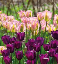 An elegant deep purple tulip variety, with blackcurrant staining at the top of…