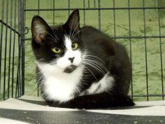 RESCUED!   STAR is a female #Tuxedo urgently in need of #rescue or adoption from the #Pocahontas County Animal Shelter in #Marlinton, #WV.   For adoption or rescue info email: asapwva@gmail.com