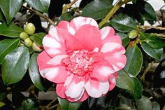 Lovely variegated Camellia flower and a great post on languages (English and Spanish). Read molre.
