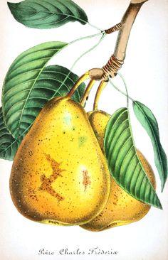 botanical, nature,flower, plant, fruit, pear, yellow, food, organic