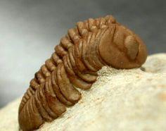 Lochovella deckeri American Trilobite  Lower Devonian Trilobites Order Phacopida, Family Phacopidae Haragan Formation, Coal County, Clarita, Oklahoma