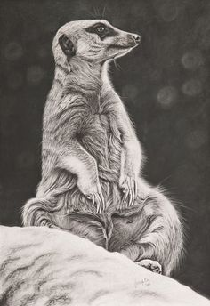 "Saatchi Art Artist: Ashleigh Dix; Charcoal Drawing ""Meerkat"""
