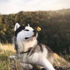 Wonderful All About The Siberian Husky Ideas. Prodigious All About The Siberian Husky Ideas. Alaskan Husky, Siberian Husky Puppies, Alaskan Malamute, Husky Puppy, Siberian Huskies, Pomeranian Puppy, Cute Puppies, Cute Dogs, Dogs And Puppies