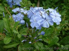 This is plumbago... shrub-like; flowers are a true blue.