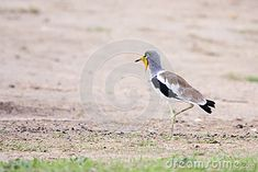 Photo about White-crowned Lapwing ( Plover ) - ( Vanellus albiceps ) - Liwonde, Malawi. Image of spurs, wattled, albiceps - 52158131 Southern, Africa, Birds, Stock Photos, Animals, Image, Animales, Animaux, Bird