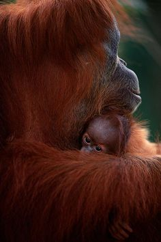 Orangutans are critically endangered / near extinction. Please BOYCOTT PALM Oil products! Spread the word...