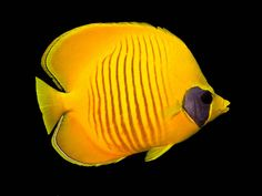 Semilarvatus #butterflyfish #yellow