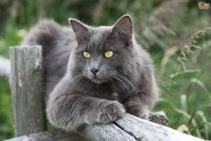 "The name Nebelung is German and means ""creature of the mist,"" a reference to the cat's shimmering silvery-blue coat that seems to float over his body."
