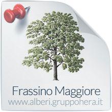 Frassino Maggiore - Elimina la bolletta, regala un albero - Gruppo Hera