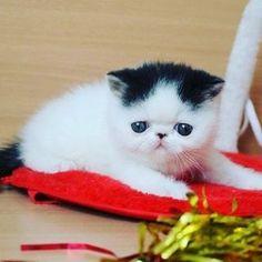 ブログを更新しました❗  #cat #cats #ilovecat #cute #catstagram #catsofinstagram #exotic #exoticcat #exotickitten #cats_of_instagram #availables  #exoticshorthair #IGERSJP #Cat_Features  #instacat #ねこ #ねこ部 #エキゾチックショートヘア #エキゾチックショートヘアー #エキゾチック #子猫 #ぶさかわ猫 #鼻ぺちゃ #ふわもこ部 #猫chihiro00642016/02/19 09:01:07