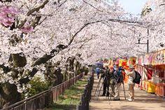 臥竜公園・桜開花状況 4/17(満開)
