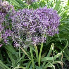 Huge heads of pinkish-purple, star shaped flowers that have a metallic sheen. Plant in sunny, well-drained locations and enjoy for years to come. Great in containers. Allium Flowers, Easy To Grow Bulbs, Star Shape, Perennials, Pink Purple, Bloom, Plants, Rodents, Onions