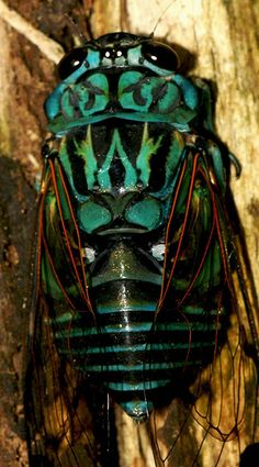 Alicorta Cicada (cicada), insect, is a diurnal, solitary and sedentary species, herbivorous. The buzzer has a powerful singing song.