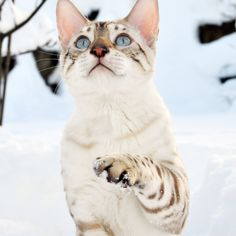 10 Safe Tips AND Tricks: White Cat Bed cat sitting from behind.Beautiful Cat Siberian Tiger cat names kids.Grumpy Cat Roses Are Red. Pretty Cats, Beautiful Cats, Beautiful Snakes, White Bengal Cat, Black Cats, Cat Ideas, Asian Leopard Cat, Cat Oc, Serval Cats