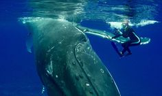 "This is an AMAZING and beautiful experience! ""Wild Whale Rushes To Save Diver From Giant Shark"""