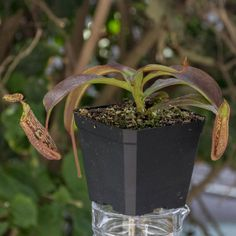 Nepenthes Maxima Burbidgeae - A Rare Highland Tropical Pitcher Plant hybrid of N. Maxima Large and N. Burbidgeae.  Rare and not commercially reproduced