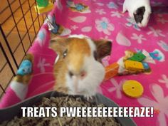 Guinea pigs know how to get what they want! Click http://smallpetselect.com/timothy-hay-for-guinea-pigs to spoil your piggies with the best timothy hay delivered FRESH to your door! And Be sure to use coupon code ★Pinterest★ for FREE SHIPPING!