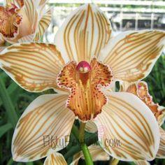 FiftyFlowers.com - Bronze Cymbidium Orchid Dyed
