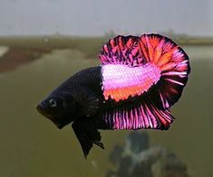 Some interesting betta fish facts. Betta fish are small fresh water fish that are part of the Osphronemidae family. Betta fish come in about 65 species too! Pretty Fish, Beautiful Fish, Pretty In Pink, Betta Fish Types, Betta Fish Tank, Fish Fish, Fish Ocean, Sea Fish, Betta Aquarium