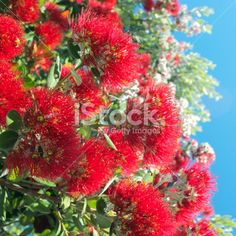 New Zealand Pohutukawa Royalty Free Stock Photo Image Now, Christmas Time, New Zealand, Royalty Free Stock Photos, Flowers, Plants, Photography, Photograph, Fotografie