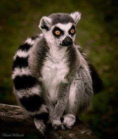~~Lemur by Steve Wilson~~