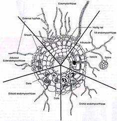 Mycorrhizal types