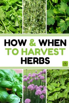 Summer may be drawing to a close, but don't despair. The end of the summer growing season means one thing - it's harvest time! Learn how and when to harvest your herbs: