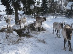 Rendeer in Lapland