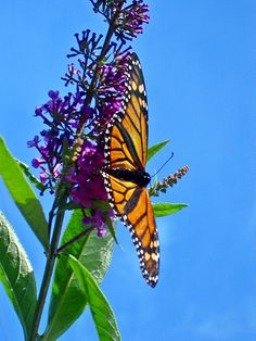 Monarch Butterfly on Purple Butterfly Bush~Blue Sky~cl