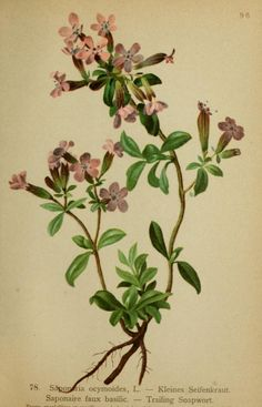 Trailing Soapwort. Plate from 'Atlas de la Flora Alpine' by Henry Correvon. Published 1899 by Geneve & Bale. University of California Librariesarchive.org