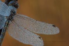 A Frosted Memory! Dragonfly covered with early morning frost on a Missouri prairie | Show Me Nature Photography