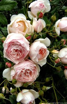 Captivating Why Rose Gardening Is So Addictive Ideas. Stupefying Why Rose Gardening Is So Addictive Ideas. Exotic Flowers, Pretty Flowers, Pink Flowers, Yellow Roses, Pink Roses, Rose Pictures, Rose Photos, Beautiful Roses, Beautiful Gardens