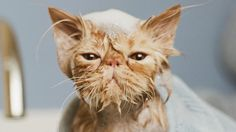 25 Wet Cats Who Will Never Forgive You For What You've Done