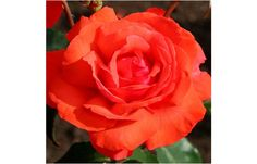 Fragrant Cloud HT mkt by Weeks  orange-red zone5 5x4 double very fragrant