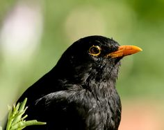 ♂ Common blackbird