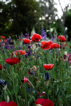 Poppies provide bursts of vibrant colour in this country garden.