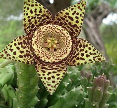 Stapelia flavopurpurea flower