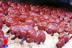 Miracle Mushroom known as Ganoderma Lucidium, get unique health benefits.