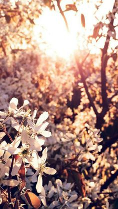Tree Flower Blossom Spring Nature #iPhone #5s #wallpaper