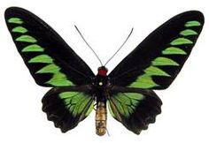 WHOLESALE lot of Real butterfly Trogonoptera brookiana raja brook's birdwing green black unmounted wings closed Giant Butterfly, Largest Butterfly, Butterfly Photos, Butterfly Background, Butterfly Tattoos, Naturhistorisches Museum Wien, Grandchildren Tattoos, Butterfly Species, Cool Bugs